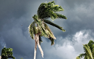 A palm tree nearly blowing over from a hurricane.